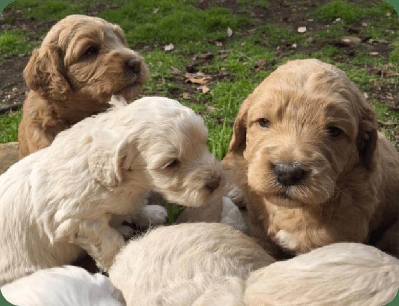 emilys puppies